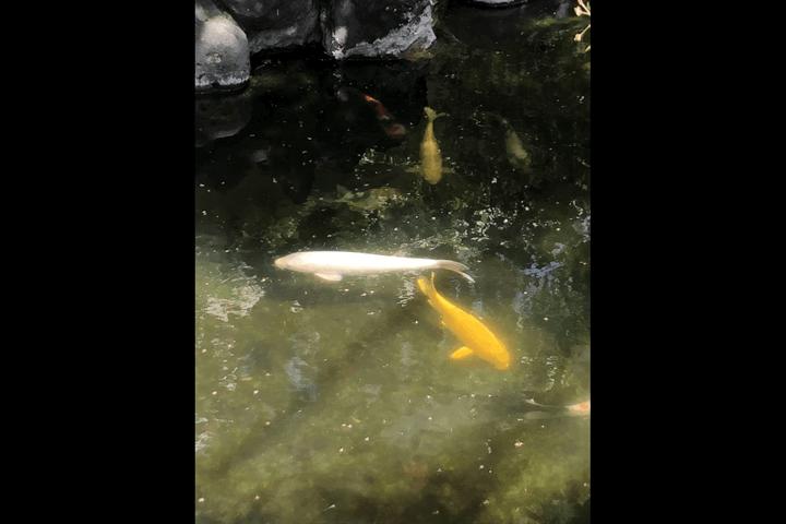 待乳山聖天本龍院の金色の鯉